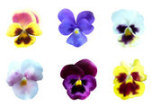 Pansy flowers set — Stock Vector