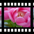 Film strip with tulips — Stock Photo