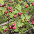 Stock Video: Red berries
