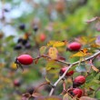 Stock Photo: Ripe dog roses fruits