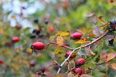 Ripe dog roses fruits — Stock Photo