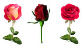 Red roses — Vetorial Stock