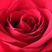 Red rose close up — Stock Photo
