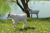 Two baby goats — Stock Photo