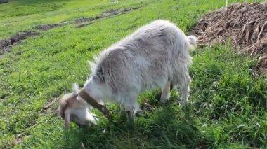 Mature goat — Stock Video