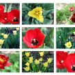 Stock Photo: Tulip backgrounds