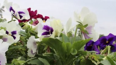 Pansy flowers — Stock Video