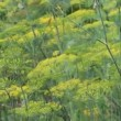 Dill flowers — Stock Video