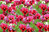 Pansy background — Stock Photo