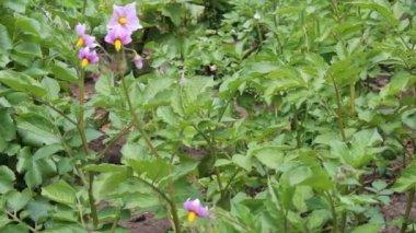 Bloeiende aardappel — Stockvideo