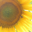 Blooming sunflower — Stock Photo