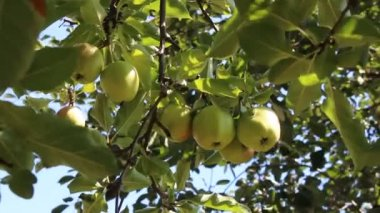 Apple fruits — Stock Video