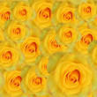 Yellow roses background — Foto Stock
