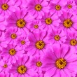 Stock Photo: Zinniflowers background