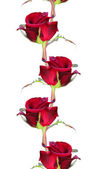Red roses background — Stockfoto
