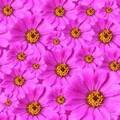 Zinnia flowers background — Stock Photo