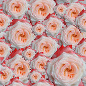 Rose flowers background — Stock Photo