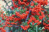 Ripe rowan berries — Stock Photo