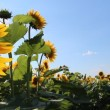 Stock Video: Sunflowers field