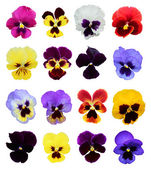 Set of 16 pansy flowers — Stock Photo
