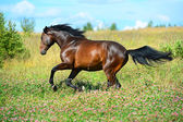 Bay horse runs gallop on flowers meadow — Stock Photo