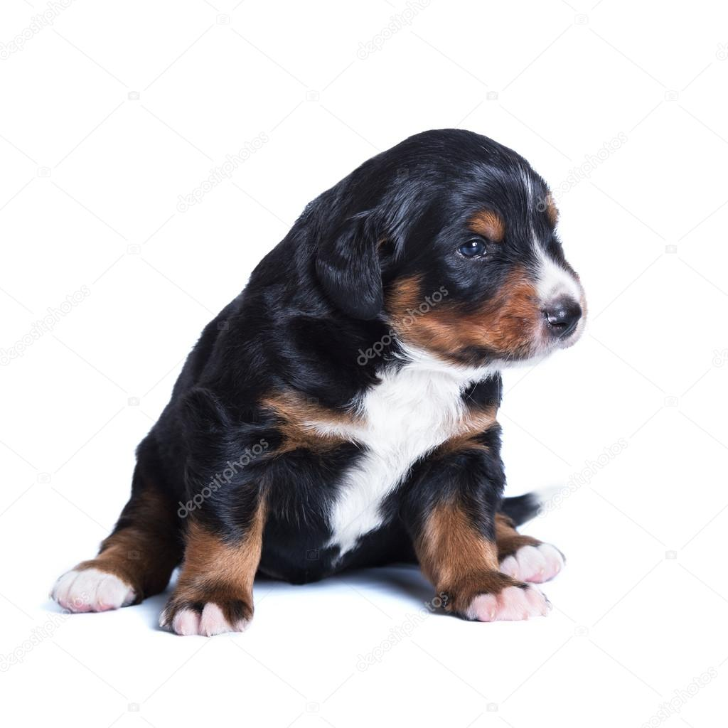 Little bernese sennenhund puppy, one month old  Stock Photo #12359304