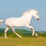 White Orlov trotter horse runs gallop on the meadow — Stock Photo #12670594