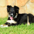 Royalty-Free Stock Photo: A tricolor border collie puppy 4 months old dog laid down on grass