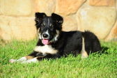 A tricolor border collie puppy 4 months old dog laid down on grass — Stock Photo