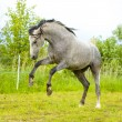 White Andalusian horse (Pura Raza Espanola) runs gallop in summe — Stock Photo