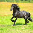 Stock Photo: Black Friesihorse runs trot on meadow in summer