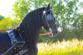 Black Friesian horse in harness in the sunset — Stock Photo