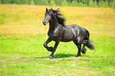 Black Friesian horse runs trot on the meadow in summer — Stock Photo