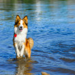 Border collie playing in the water — Stock Photo #13531298