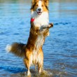 Border collie playing in the water — Stock Photo #13531300