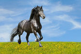 Black horse runs trot on the meadow — Stockfoto