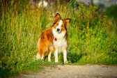 One dog border collie portrait in the morning — Stock Photo