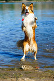 Border collie playing in the water — Foto Stock