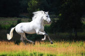 White Andalusian horse (Pura Raza Espanola) runs gallop in summer — Stock Photo