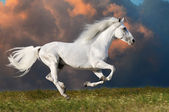 White horse runs on the dark sky background — Stock Photo