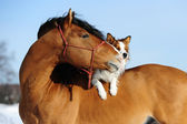 Red horse and dog are friends — Stock Photo