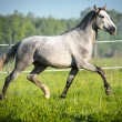 Stock Photo: White horse runs trot in summer