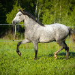 White horse runs trot in summer — Stock Photo