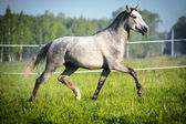 White horse runs trot in summer — Stockfoto