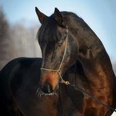 Bay horse portrait in winter — Stock Photo