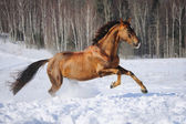 Golden red horse runs gallop in winter time — Stock Photo
