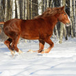 Stock Photo: Red heavy horse runs gallop in winter