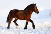 Bay draft horse portrait in motion in winter — Stock Photo