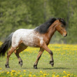 Appaloosa foal runs trot on the field — Stock Photo