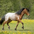 Stock Photo: Appaloosfoal runs trot on field